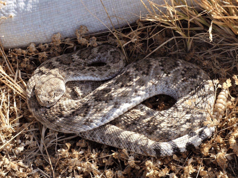 Western Diamondback Rattlesnake Nicely Camouflaged