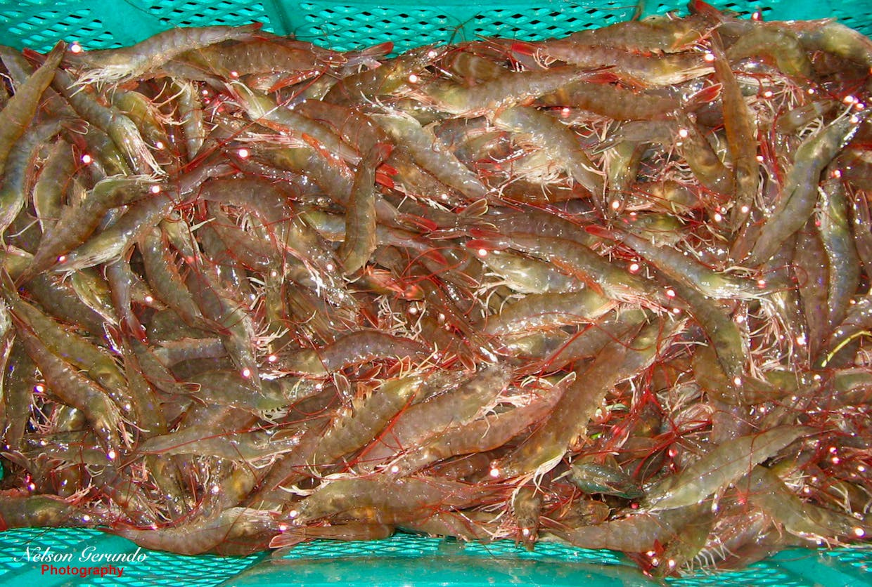 Shrimp Harvest in Central Luzon, the Philippines