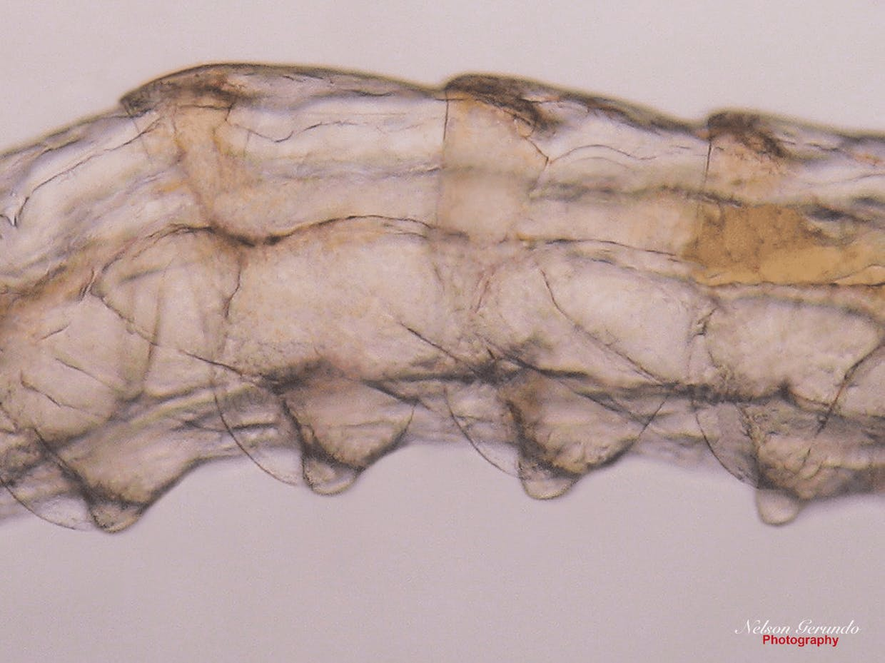 Mysis - 1 showing the rudimentary pleopods on the ventral surface of the abdominal segments appearing as buds.