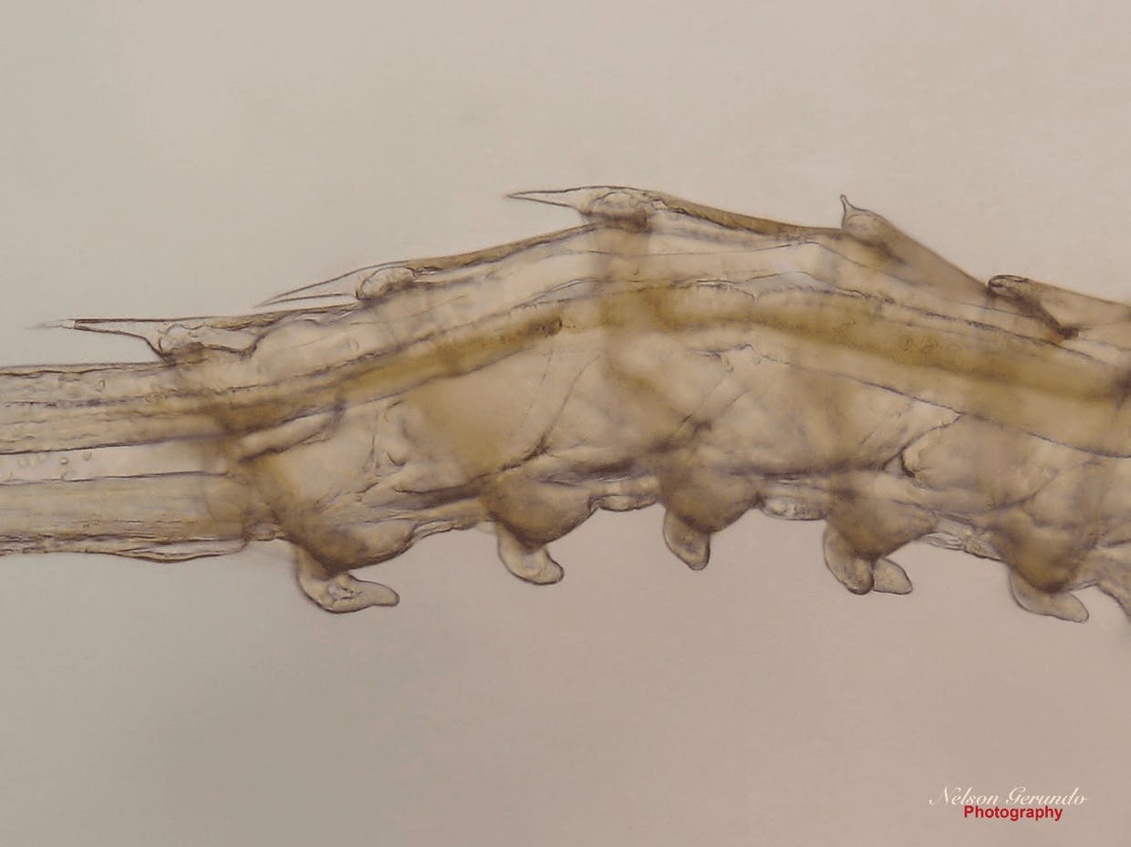 Early Mysis - 2 showing the beginning of the appearance of the unsegmented bent or curved pleopods on the ventral surface of the abdominal segments. Note also the sharp dorsal spines on the 3rd, 4th, and 5th body segments while becoming rudimentary on the 1st and 2nd body segments