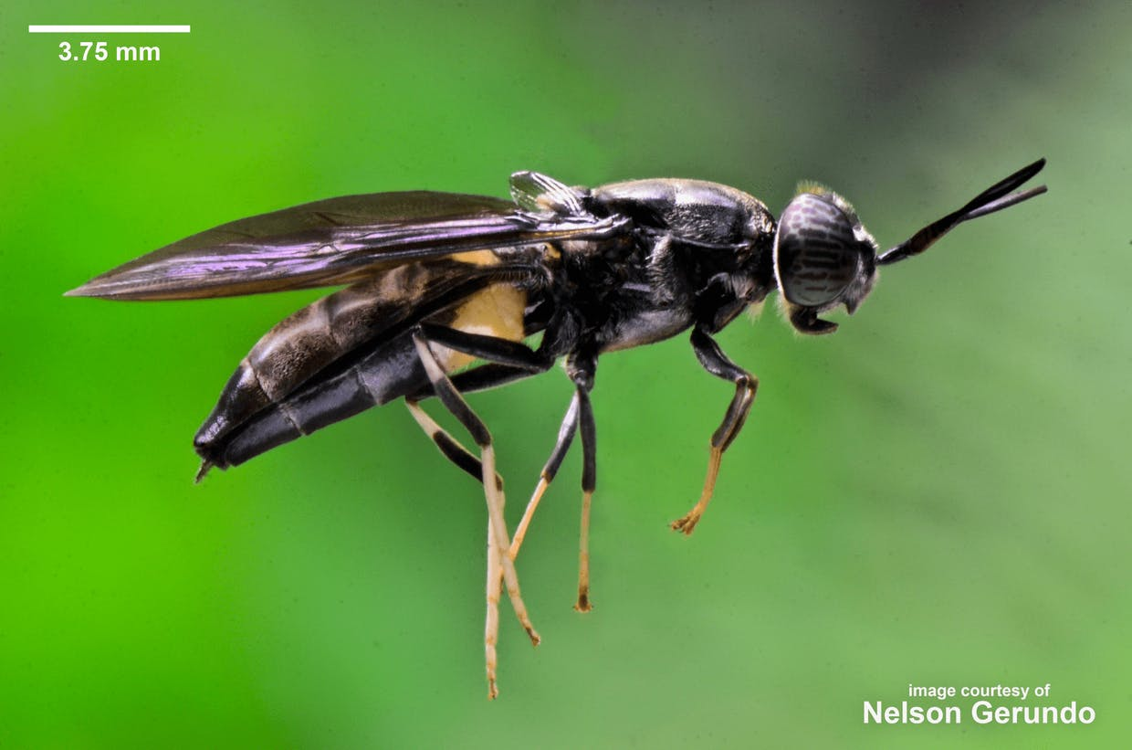 Close range photography of a wild indigenous gravid female Philippine Black Soldier Fly (Hermetia illucens, Carl Linnaeus 1758) macro-photographed by nelson gerundo today (July 31, 2021), Saturday, starting at 9:57:20 AM at an aperture opening of f/36 using a close-up lens (AF-S VR Micro Nikkor 105mm f/2.8G IF-ED) attached to a Nikon DSLR - DX Format camera, inside the main campus of Central Luzon State University in Munoz, Nueva Ecija, the Philippines.