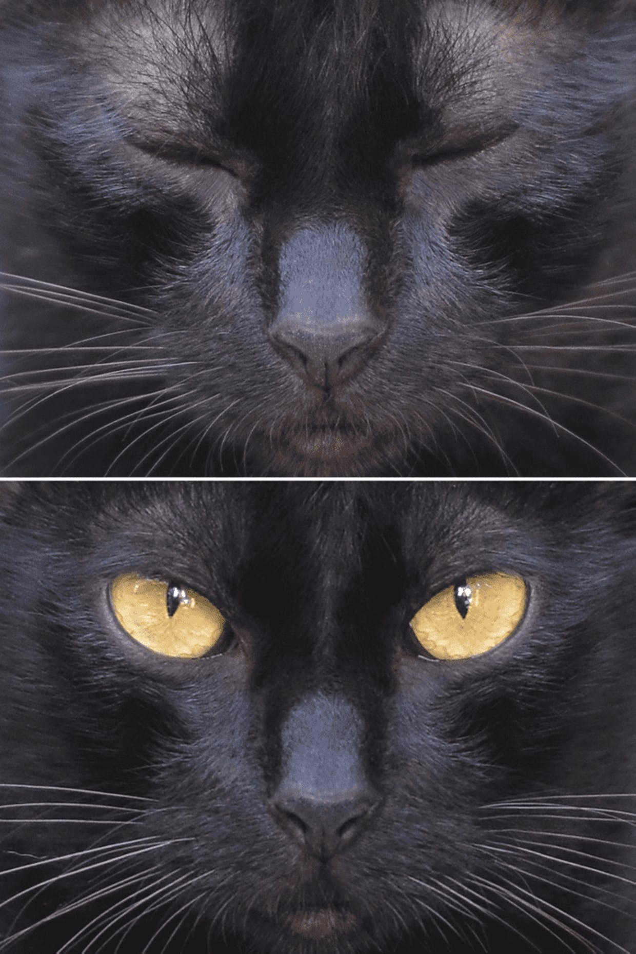 Original available natural light portrait photography of a Philippine black tiger cat by nelson gerundo taken on September 15, 2021 (Wednesday) at 9:55:43 AM inside the CLSU main campus.