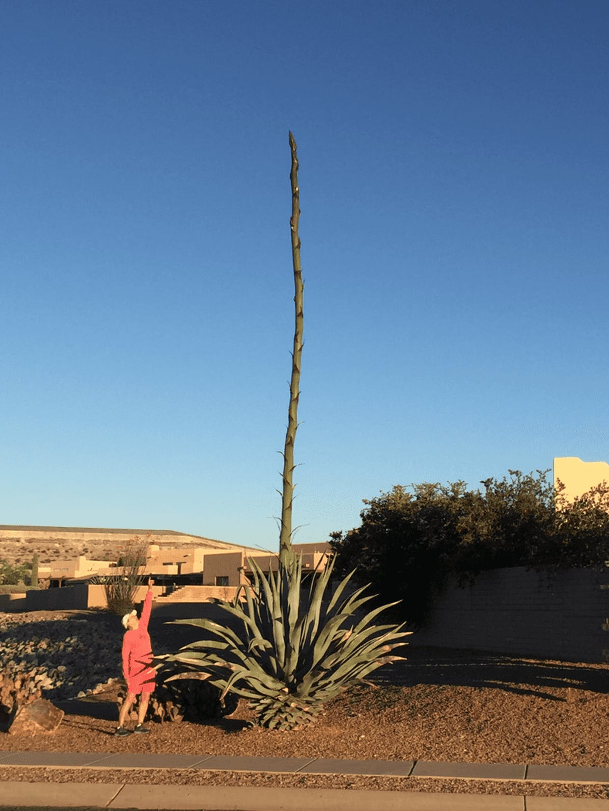 Check this out — from Sandy and Phil LaVoi. That's Sandy, and she's five-foot-seven. So, I'd guess this agave is well over 20 feet! It's on Camino del Portillo about eight blocks south of Esperanza Boulevard.
