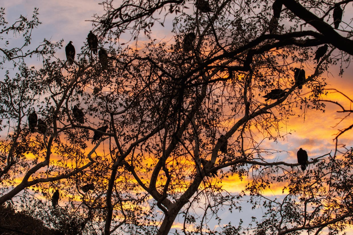 Turkey vultures roosting in tree at sunset (Laurie Cirrincione photo)