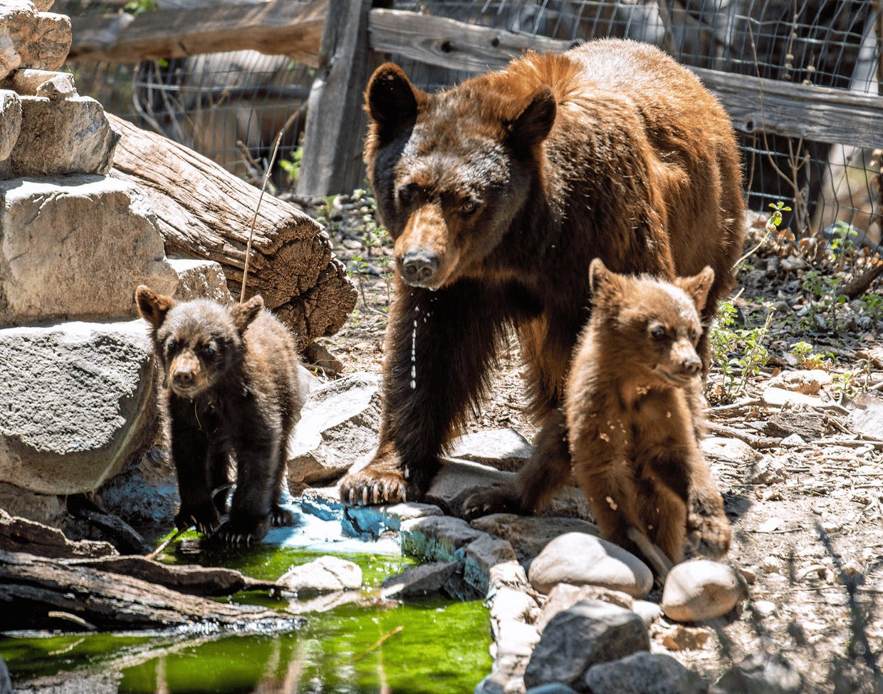 Bear mother and two cubs (Laurie Cirrincione photo)