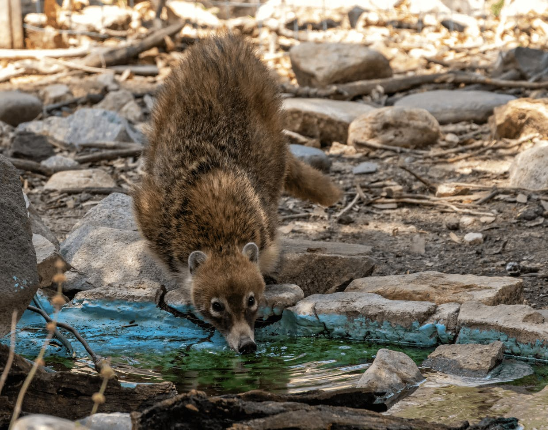 Coati drinking from stream (Laurie Cirrincione photo)