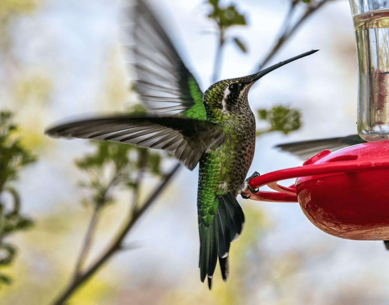 Female Rivoli's hummingbird (Laurie Cirrincione photo)