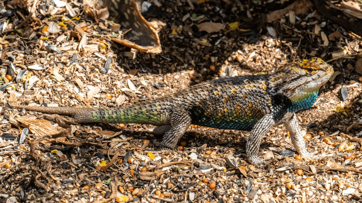 Desert Spiny Lizard (sometimes called Desert Purple-backed Spiny Lizard ...click on photo to enlarge