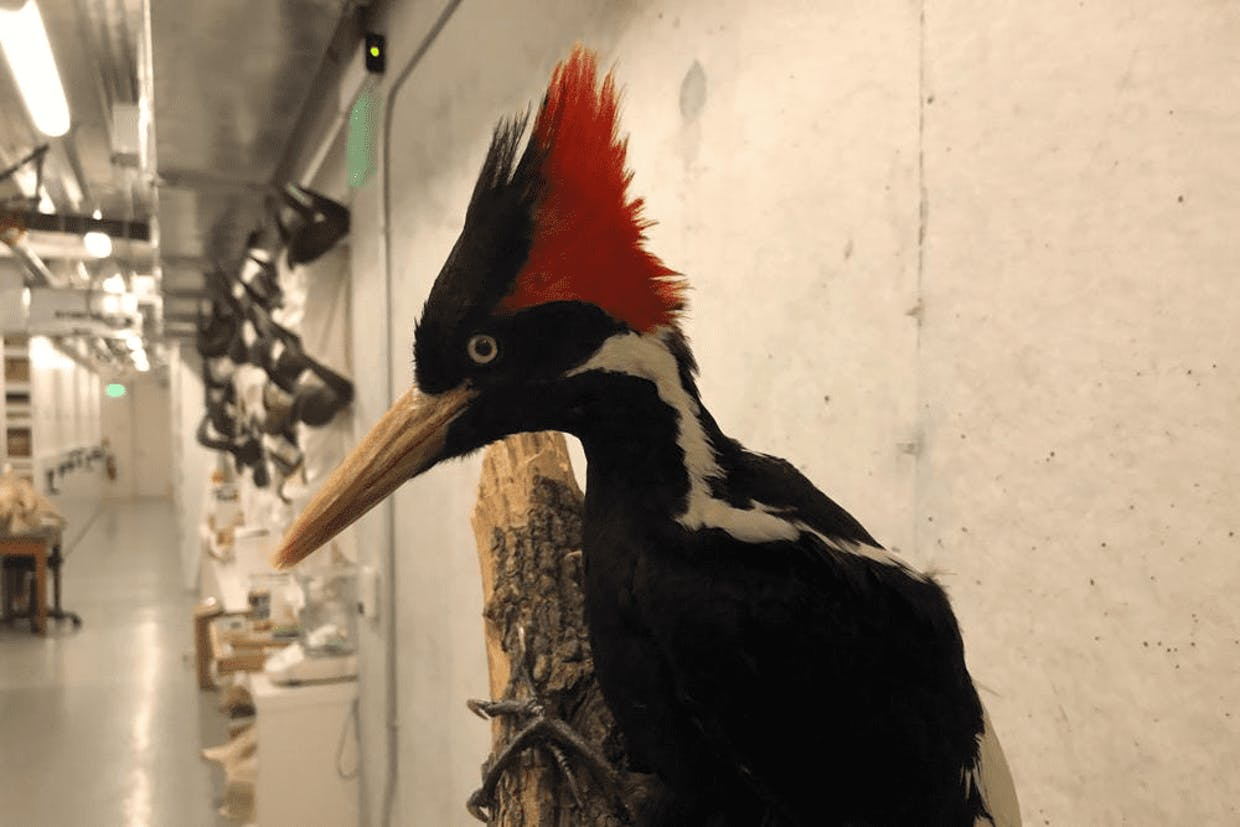 An ivory-billed woodpecker specimen on display at the California Academy of Sciences in San Francisco (AP Photo/Haven Daley)