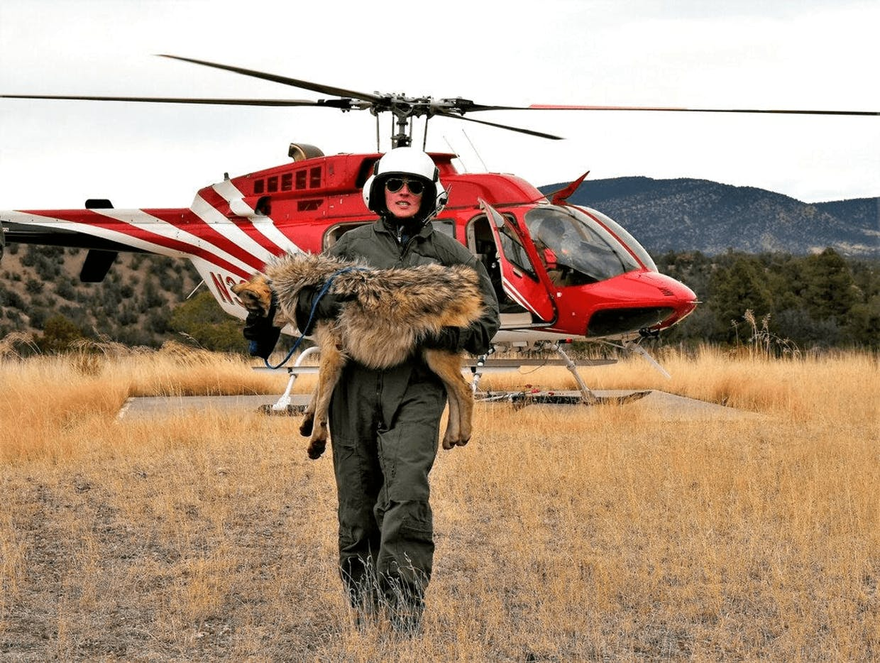 In this Feb. 13, 2019, photo provided by the U.S. Fish and Wildlife Service, a member of the Mexican gray wolf recovery team carries a wolf captured during an annual census near Alpine, AZ. In 2019, survey results showed there has been an increase in the population of Mexican gray wolves in the wild in New Mexico and Arizona. (Mark Davis/AP)