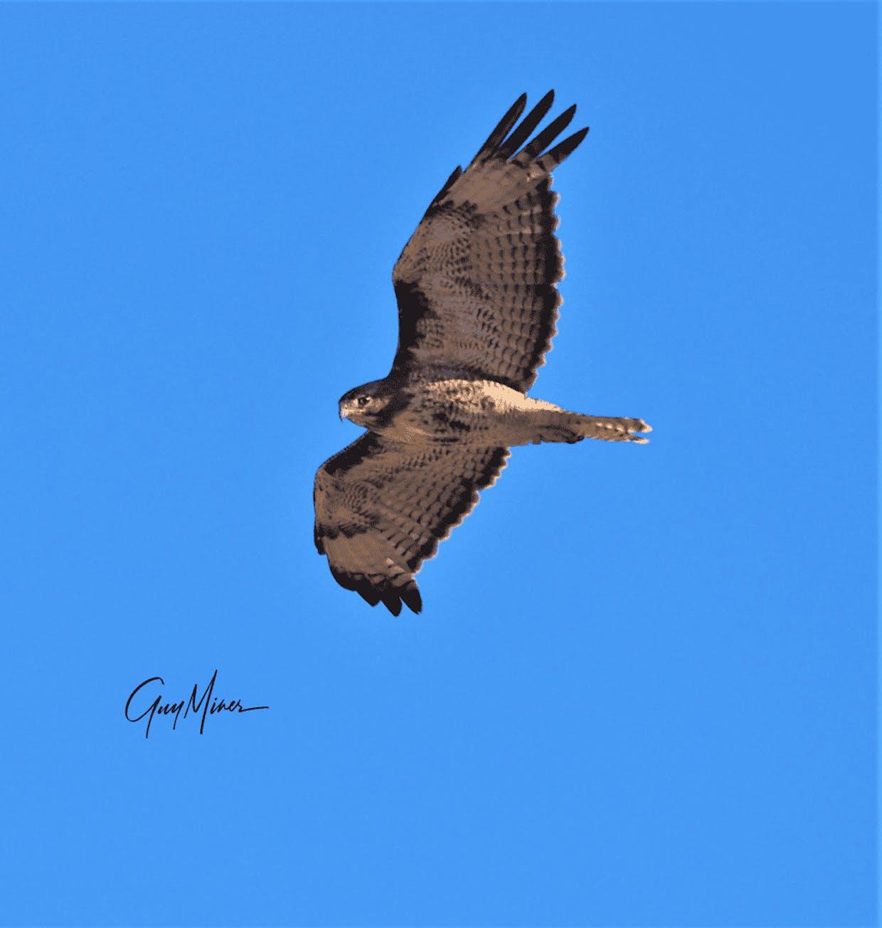 Immature or juvenile red tail hawk, Douglas County, Washington.