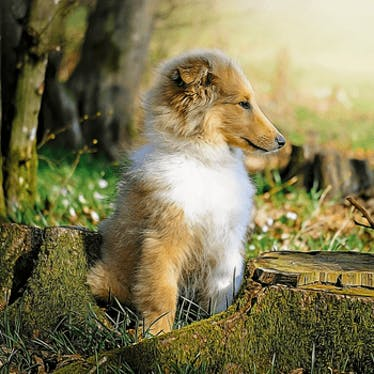 """Collie """"Puppies"""" For Sale"""