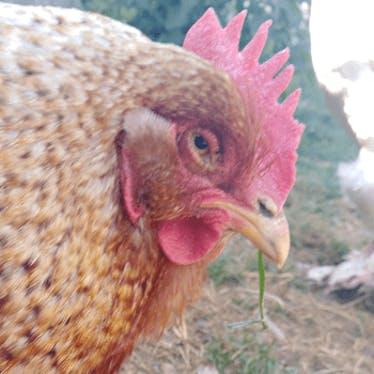 Hühnerfreunde 🐔